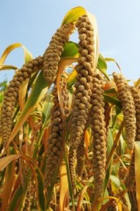 10831952-los-cultivos-maduros-en-los-campos-de-mijo-en-otono