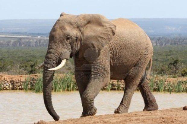 5577386-enorme-elefante-caminando-a-una-charca-para-iniciar-su-sed-de-temple