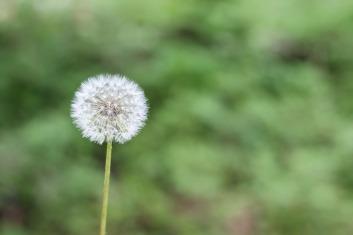 dandelion-1112399_1920
